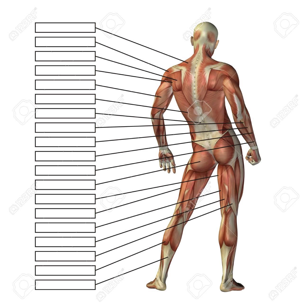 Menschliche Anatomie Der Person 3D Mit Muskeln Und Textfeld ...