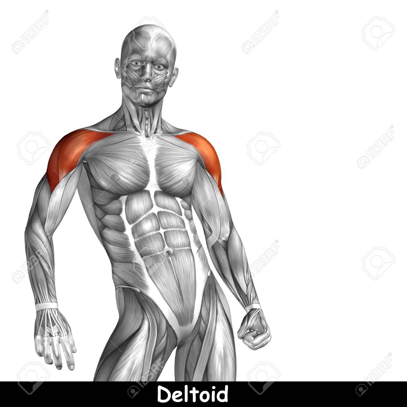 Charmant Brust Anatomie Muskel Fotos - Menschliche Anatomie Bilder ...