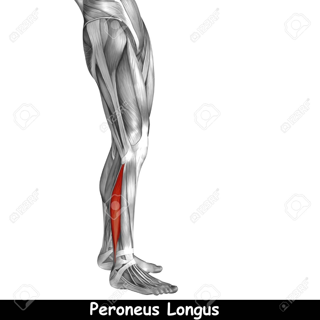 Awesome Anatomy Lower Leg Muscles Inspiration - Anatomy Ideas ...