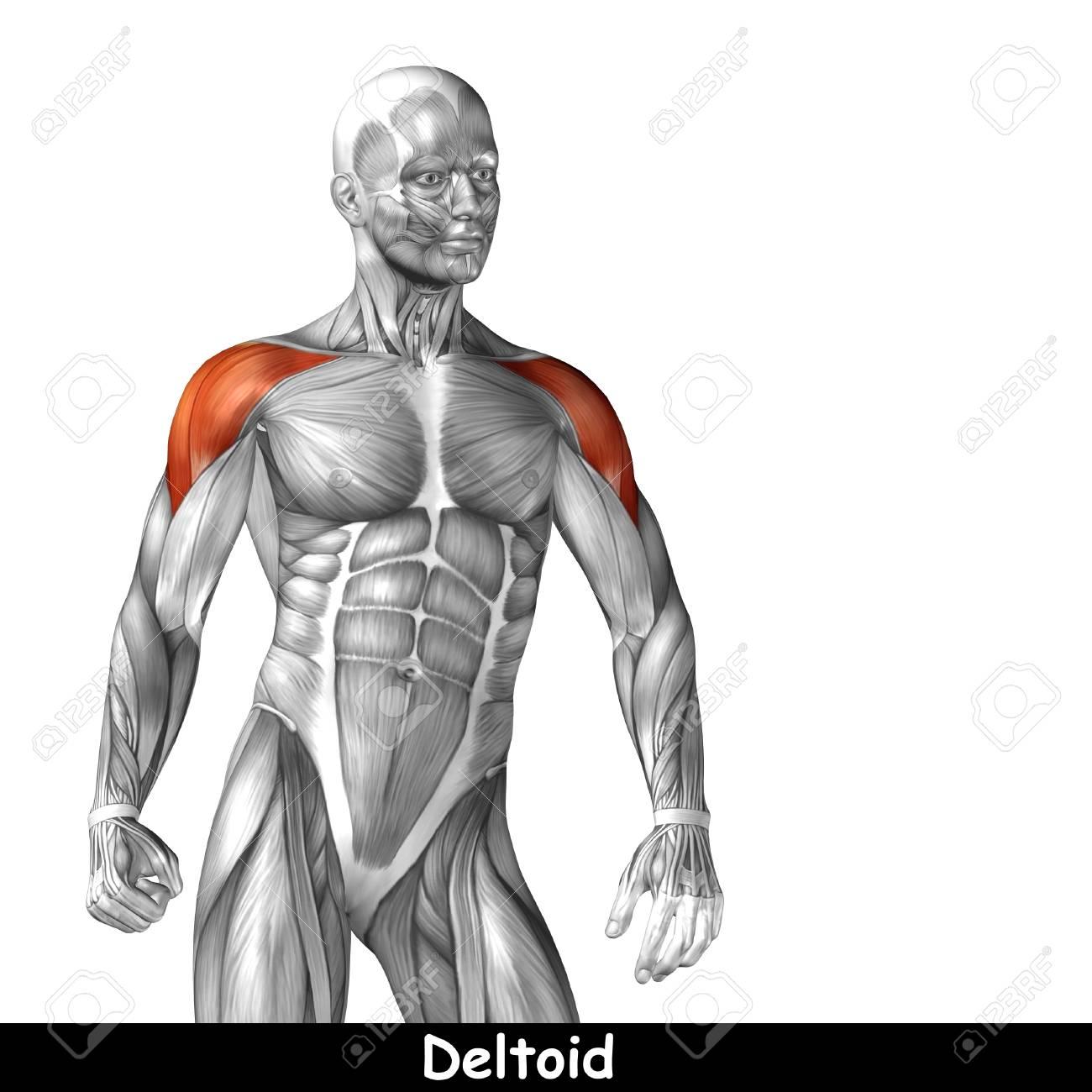 Bonito Pecho Diagrama De La Anatomía Muscular Imagen - Anatomía de ...