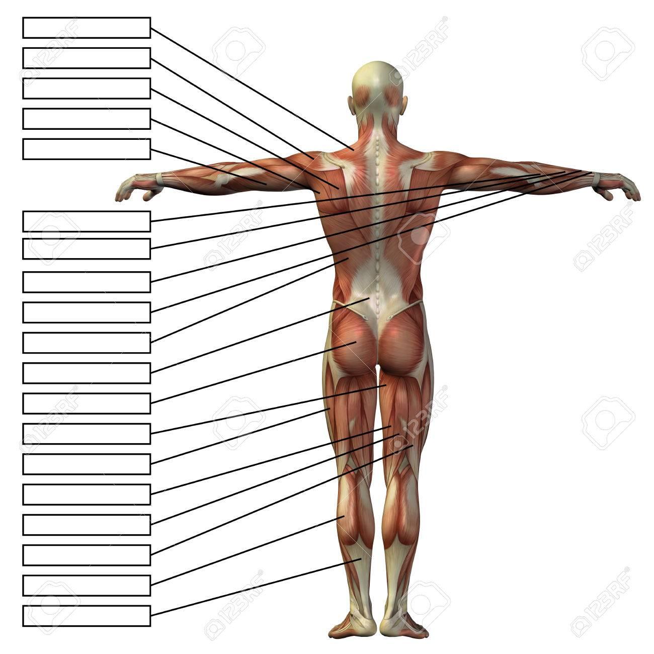 3D Menschliche Männliche Anatomie Mit Muskeln Und Textfeld Isoliert ...