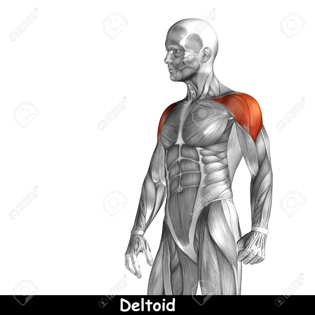 Encantador Pecho Muscular Composición - Imágenes de Anatomía Humana ...