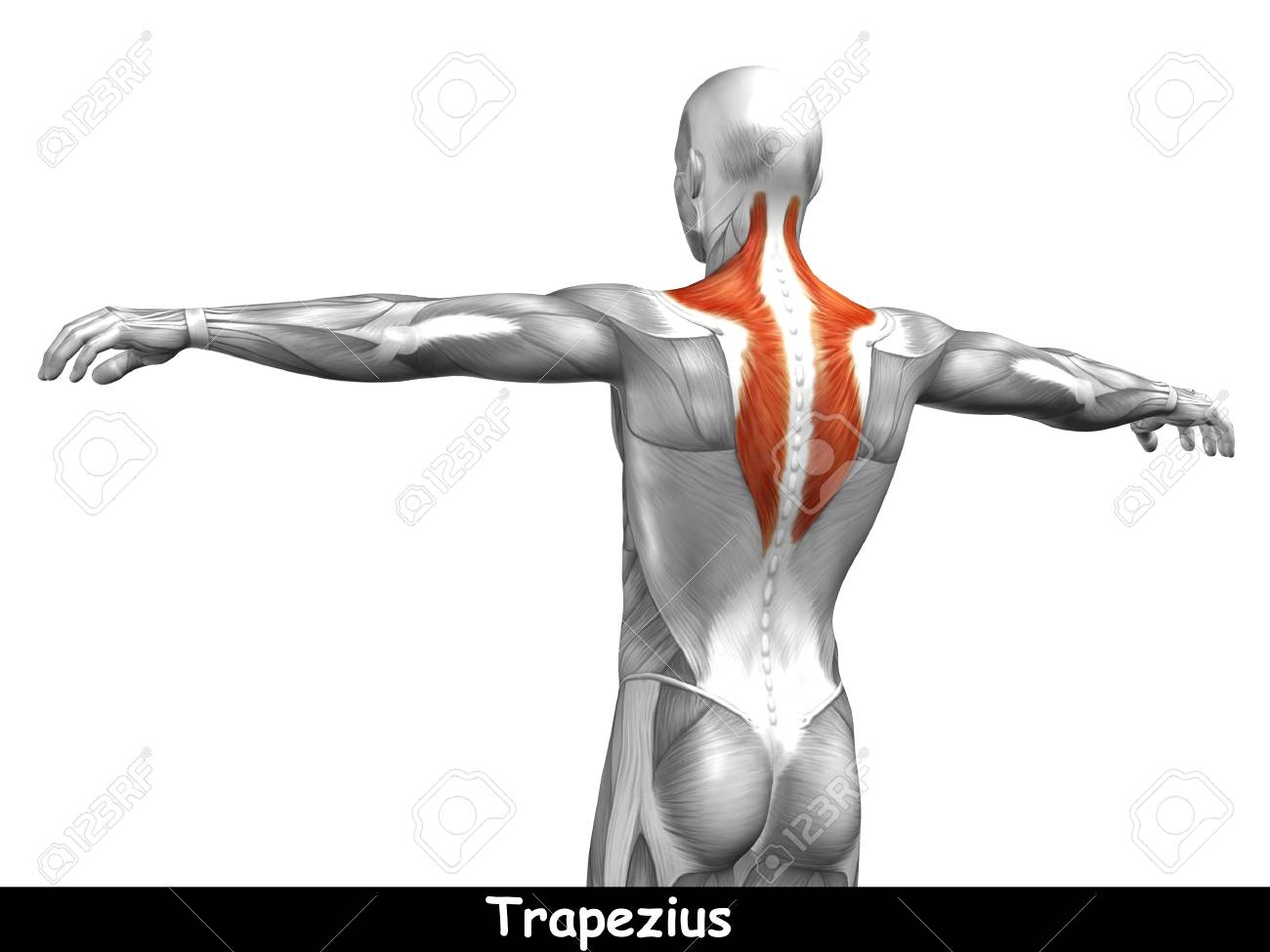 Conceptual 3D Back Anatomy Muscle Isolated On White Background Stock ...