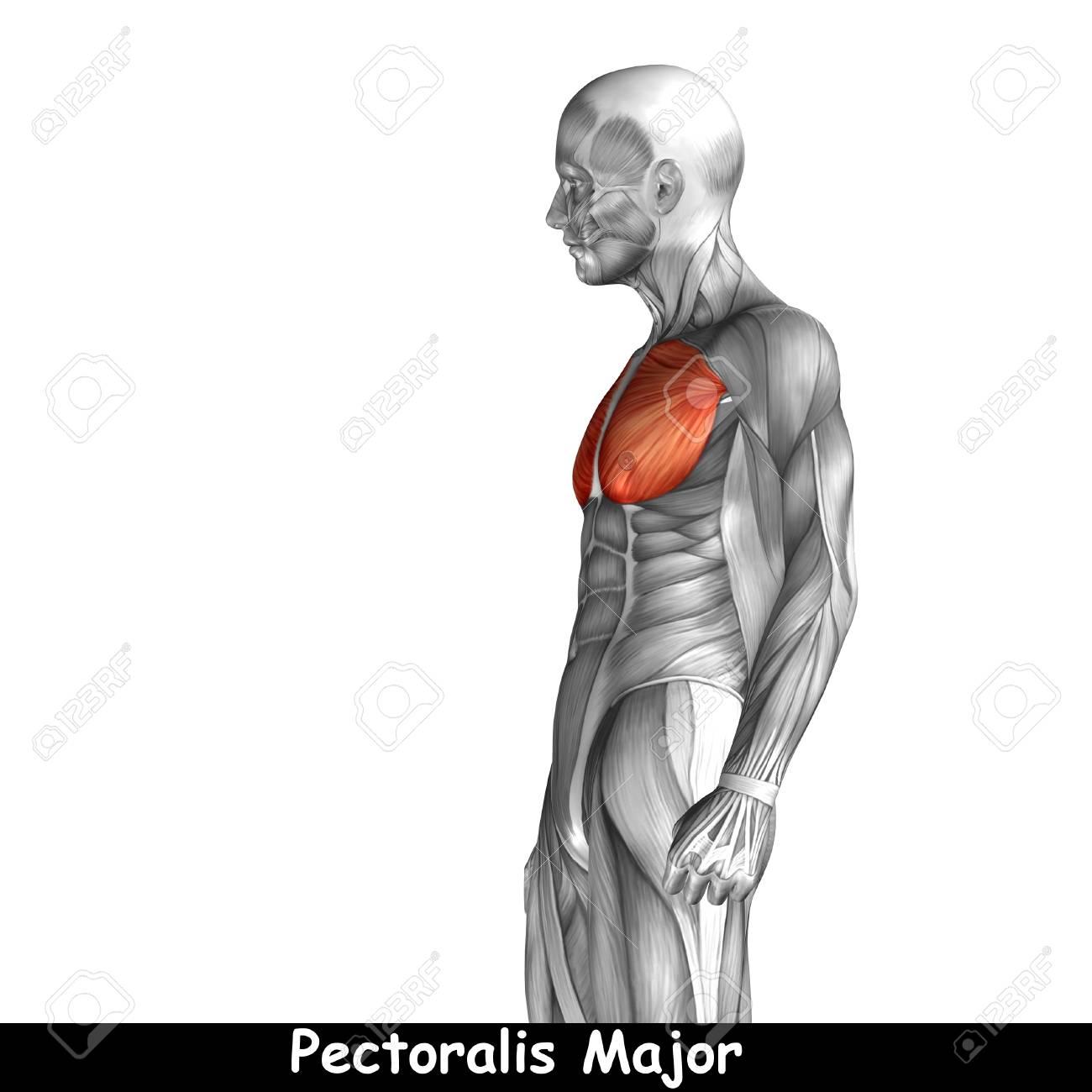 Conceptual 3D Muscular Anatomía Pecho Aislado En El Fondo Blanco ...