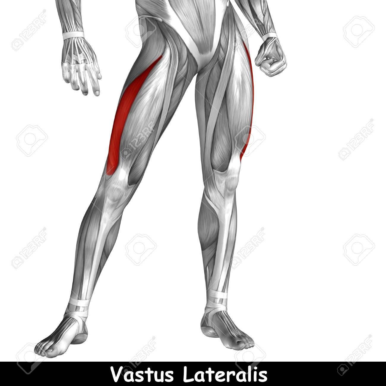 Konzeptionelle 3D Menschlichen Vorderen Oberen Anatomie Beinmuskel ...