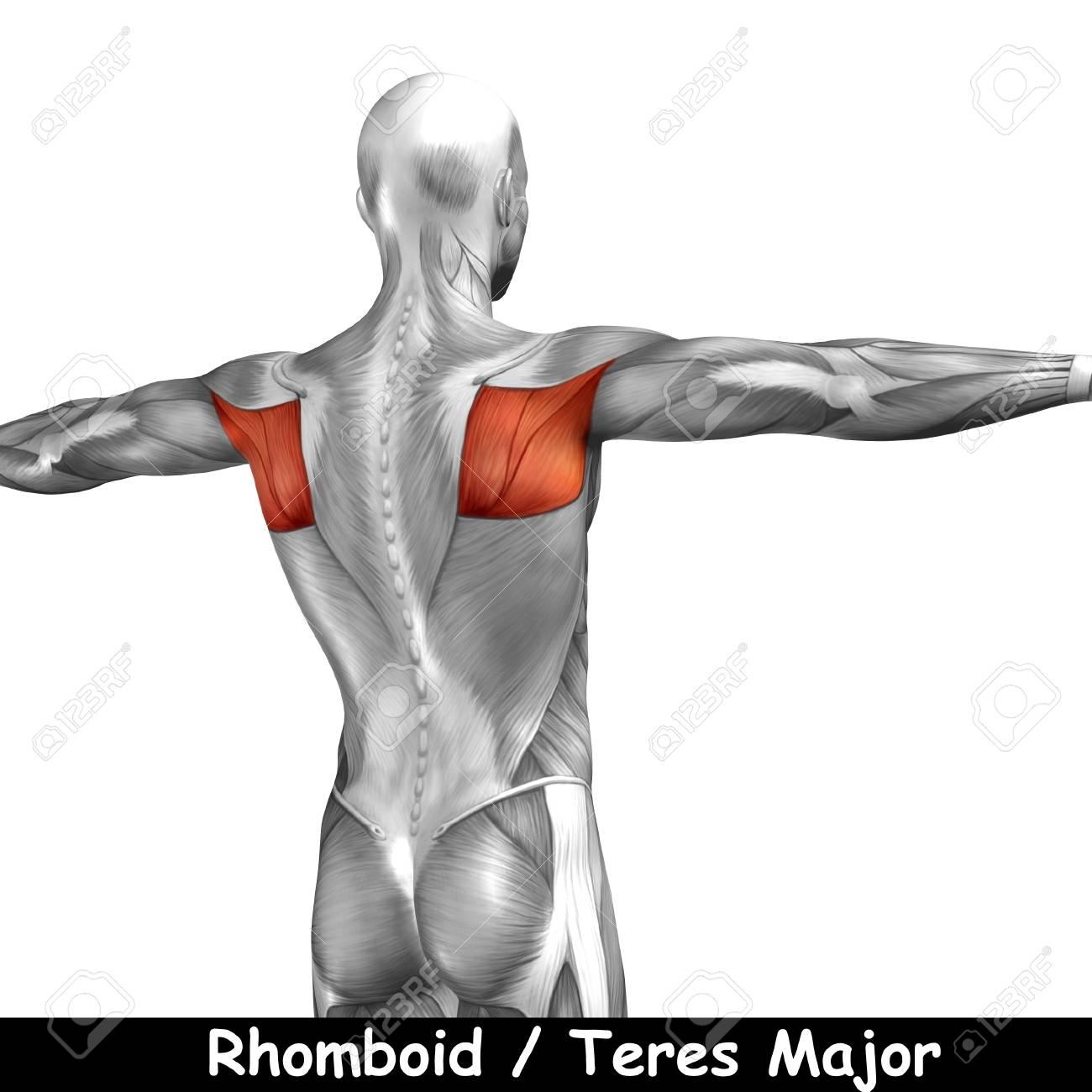 Conceptual 3D Anatomía Músculo De La Espalda Aislado En El Fondo ...