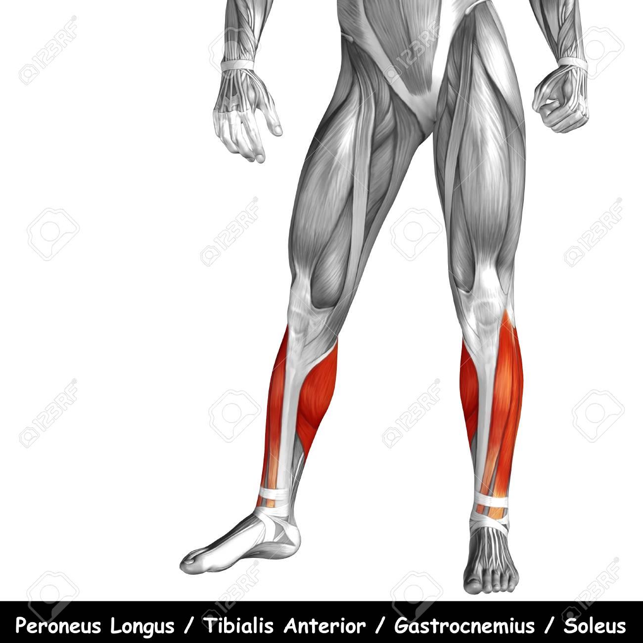 Charmant Hüftabduktoren Muskeln Anatomie Fotos - Anatomie Von ...