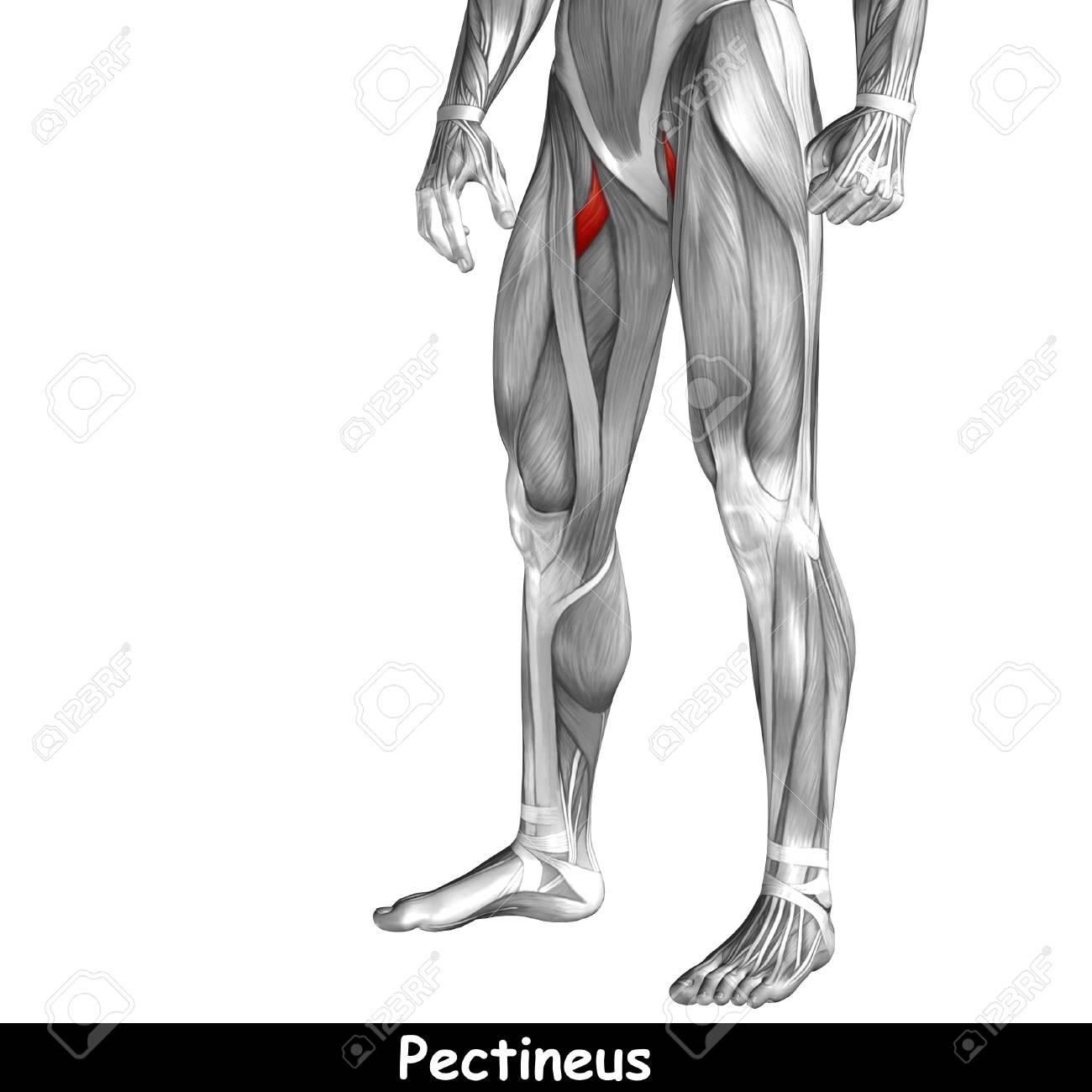 Gemütlich Vordere Beinmuskelanatomie Bilder - Anatomie Von ...