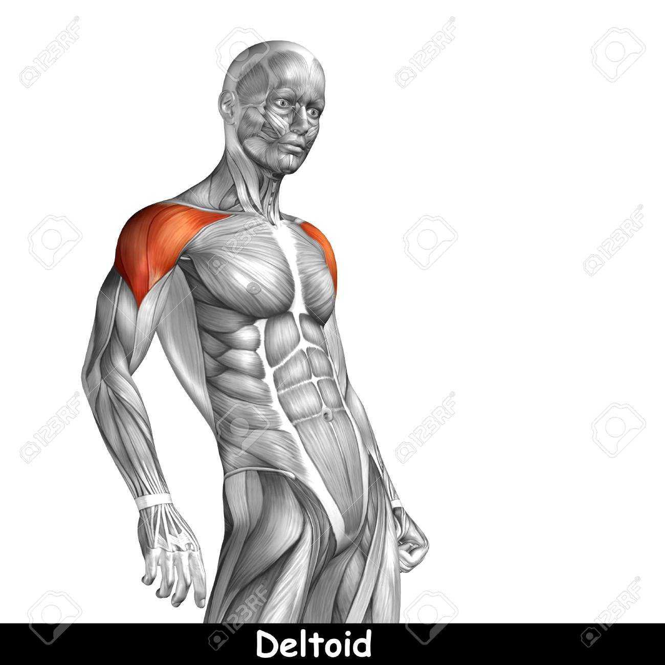 Konzeptionelle 3D-Brust Anatomie Muskel Isoliert Auf Weißem ...