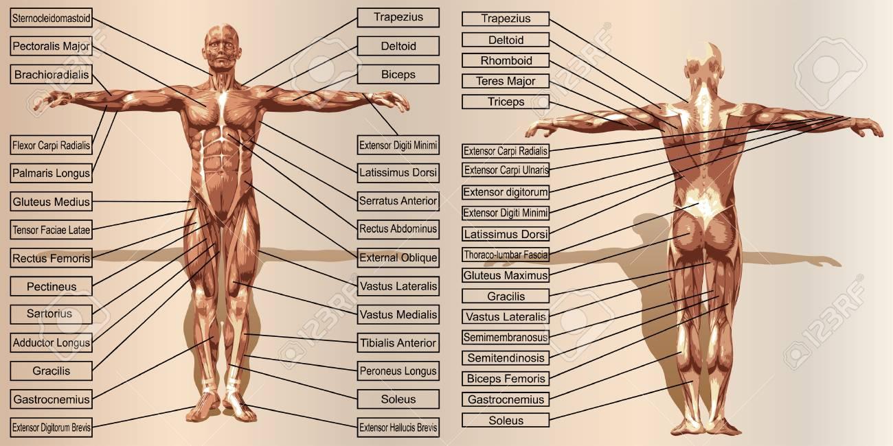Vector 3D Anatomía Del Músculo Del Hombre Con El Texto Sobre Fondo ...