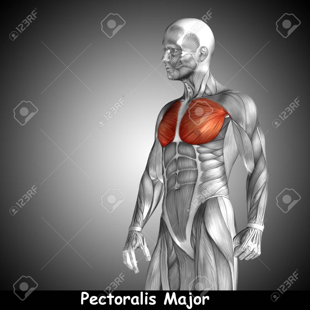 Contemporáneo Pecho Cavidad Anatomía Modelo - Anatomía de Las ...
