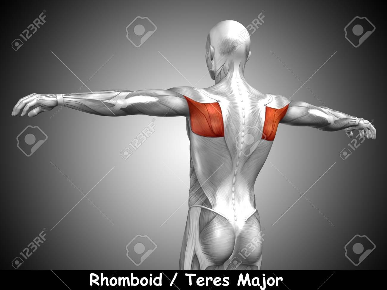 Konzeptionelle 3D-Anatomie Zurück Muskel Und Text Auf Grauem ...