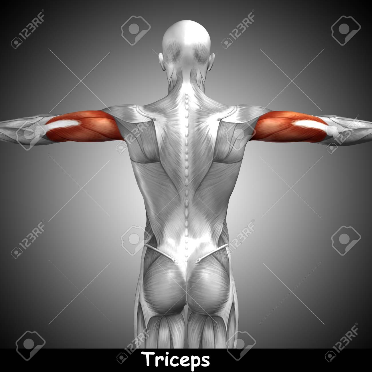 Conceptual 3D Muscular Del Tríceps Anatomía Y Texto Sobre Fondo Gris ...