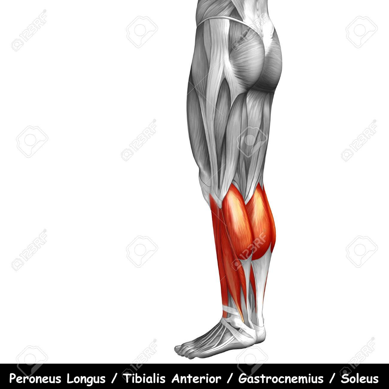 Conceptual 3d Human Back Lower Leg Muscle Anatomy Isolated On