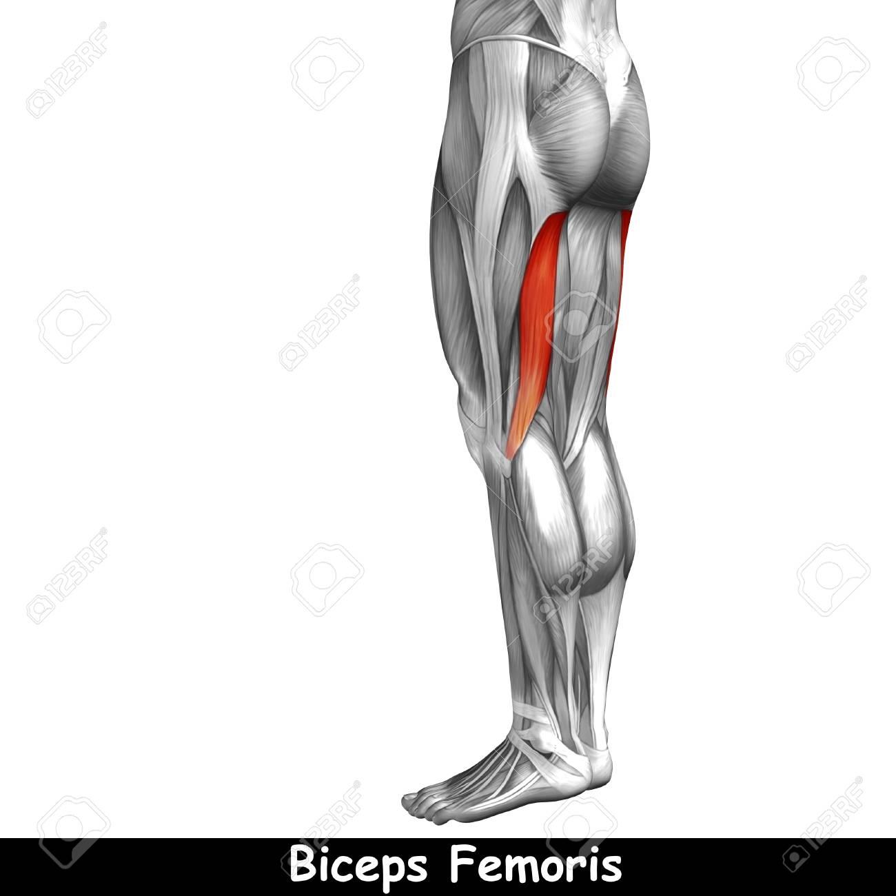 Gemütlich Muskelanatomie Des Menschlichen Körpers Fotos ...