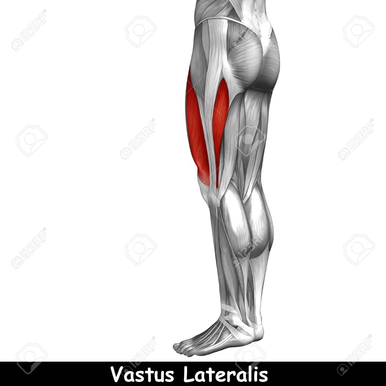 Anatomia humana musculos de la pierna