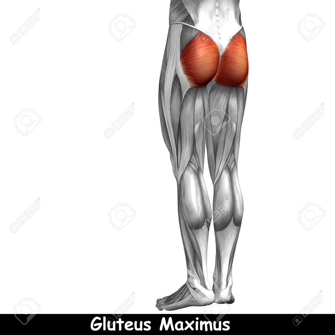 Conceptual 3D Anatomía Humana Espalda Superior Músculo De La Pierna ...