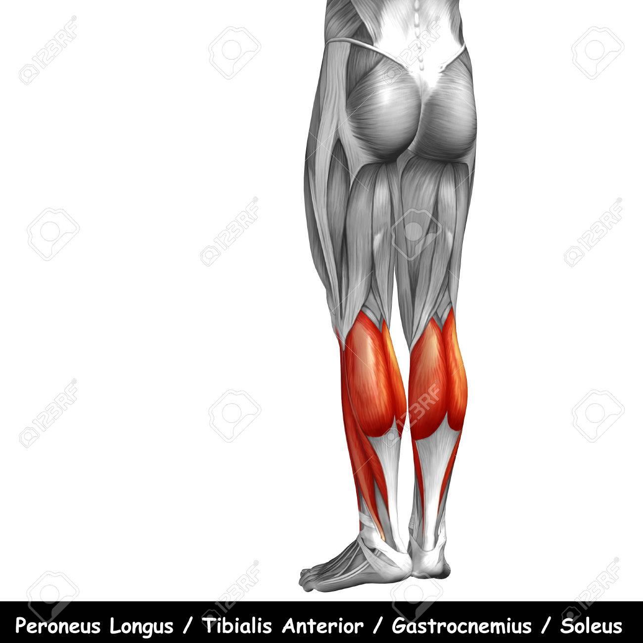 Conceptual 3D Humana Espalda Inferior De La Pierna Anatomía Muscular ...
