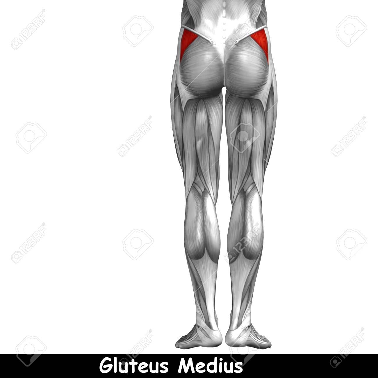 Lujo Músculo De La Espalda Superior Molde - Anatomía de Las ...