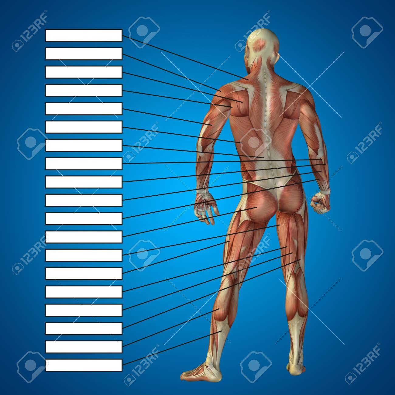 3D Human Male Anatomy With Muscles And Text Box On Blue Background ...