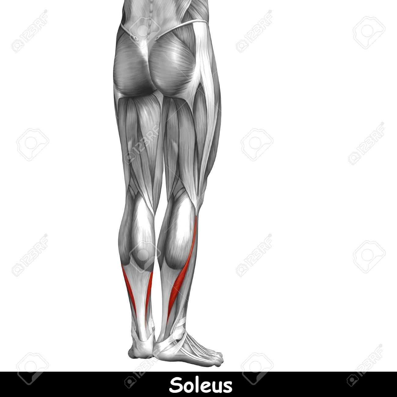 Konzeptionelle 3D Menschlichen Rücken Unterschenkel Muskelanatomie ...
