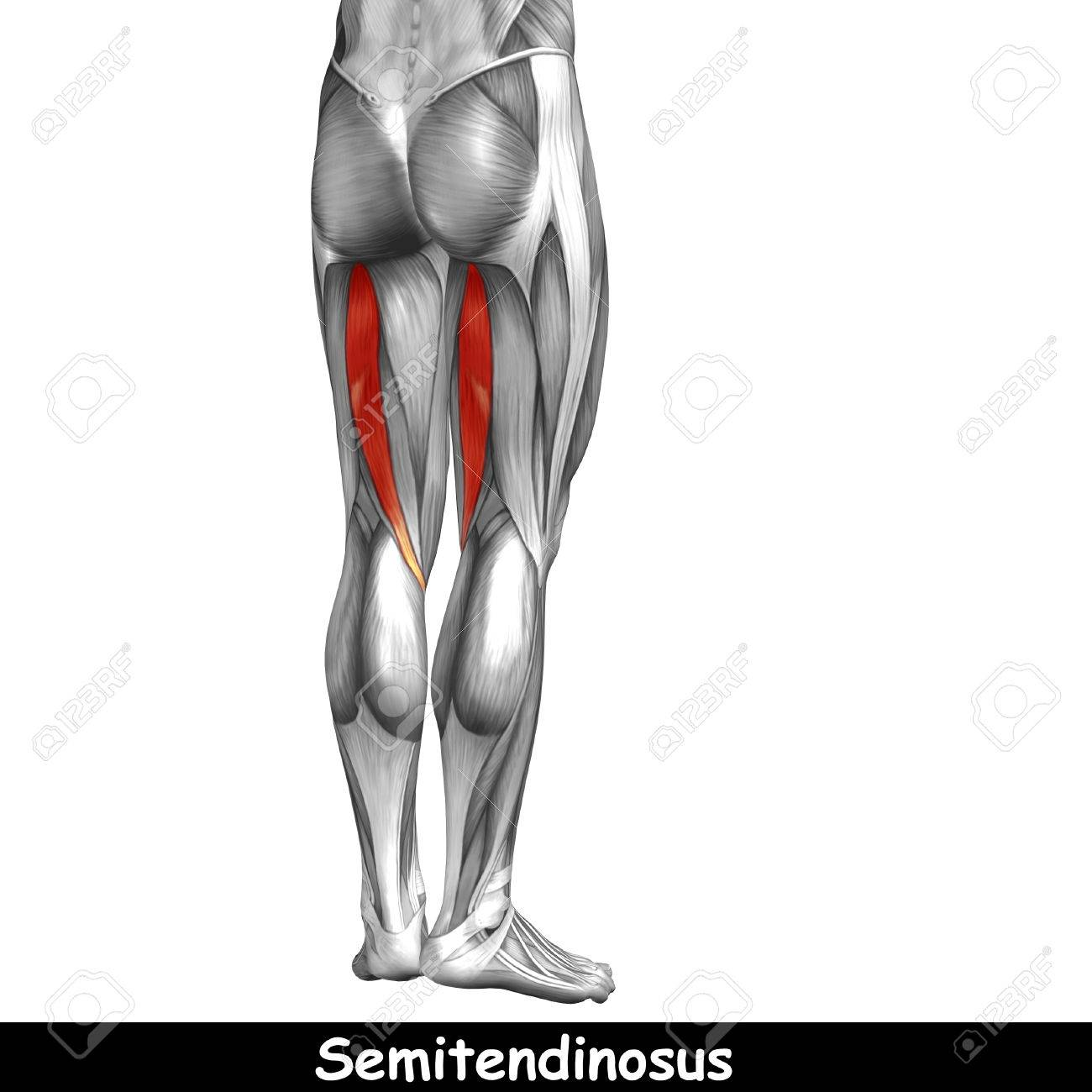 Conceptual 3D Human Back Upper Leg Muscle Anatomy Isolated On ...
