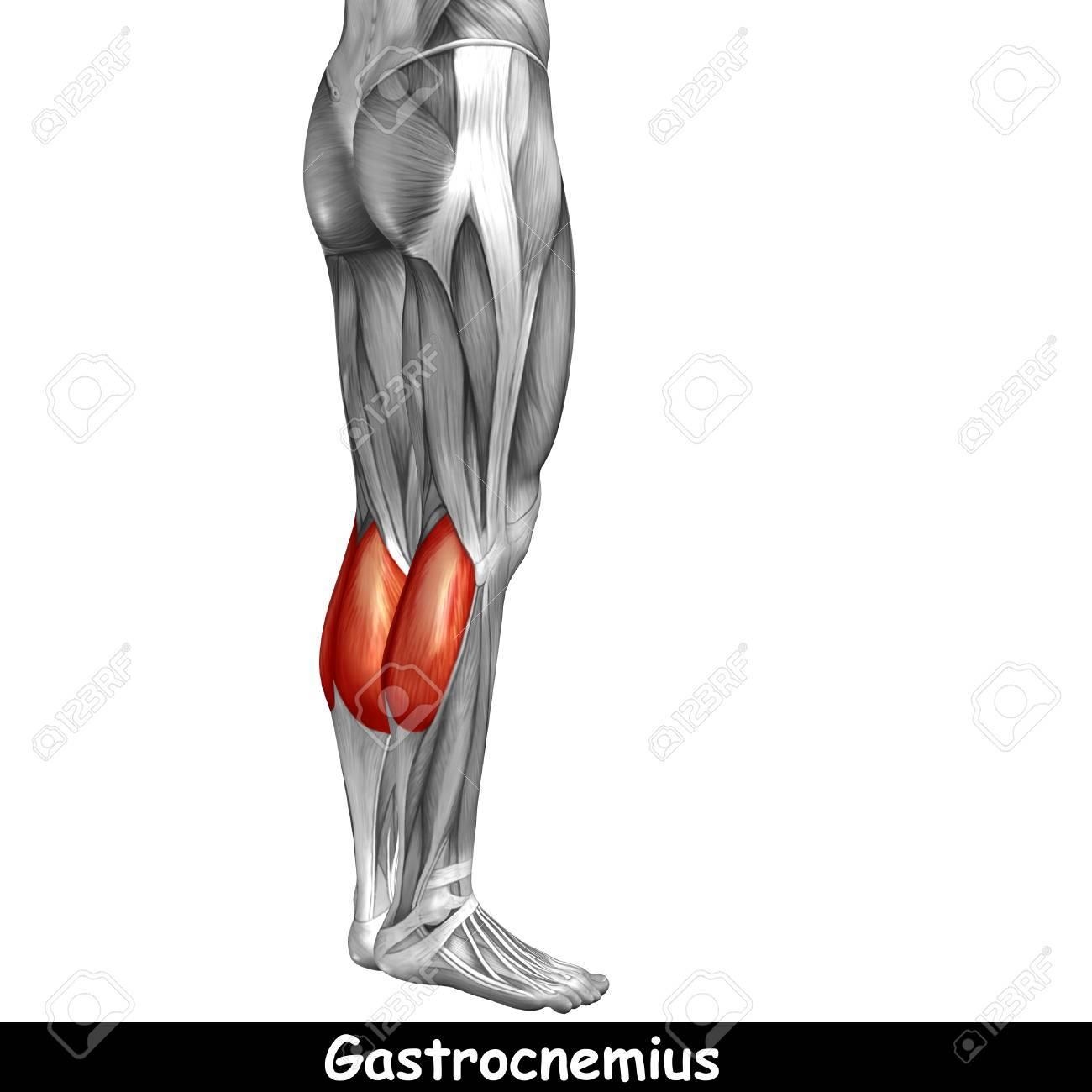 Groß Unterschenkel Zeitgenössisch - Anatomie Und Physiologie Knochen ...