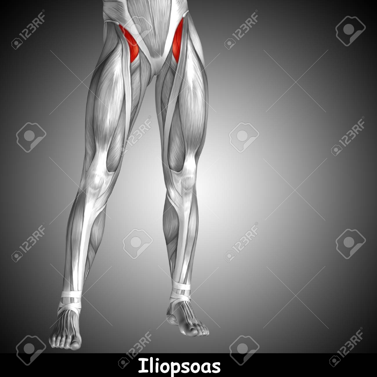 Conceptual 3D Human Front Upper Leg Muscle Anatomy And Text On ...