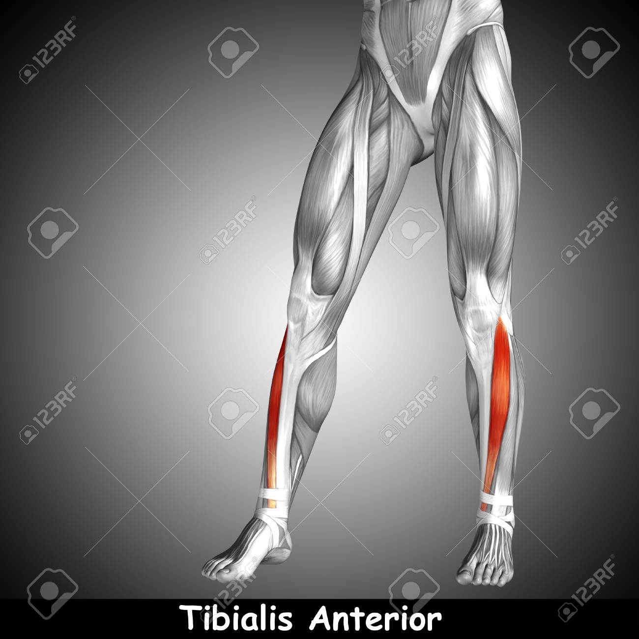 Conceptual 3D Human Front Lower Leg Muscle Anatomy And Text On ...