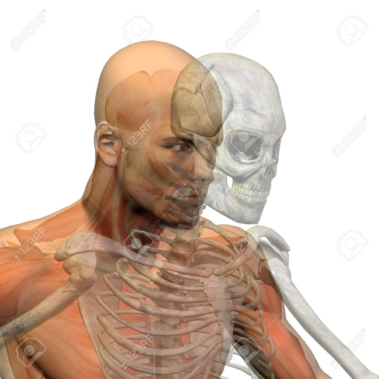 Konzeptionelle Anatomie Menschlichen Körper Auf Weißem Hintergrund ...