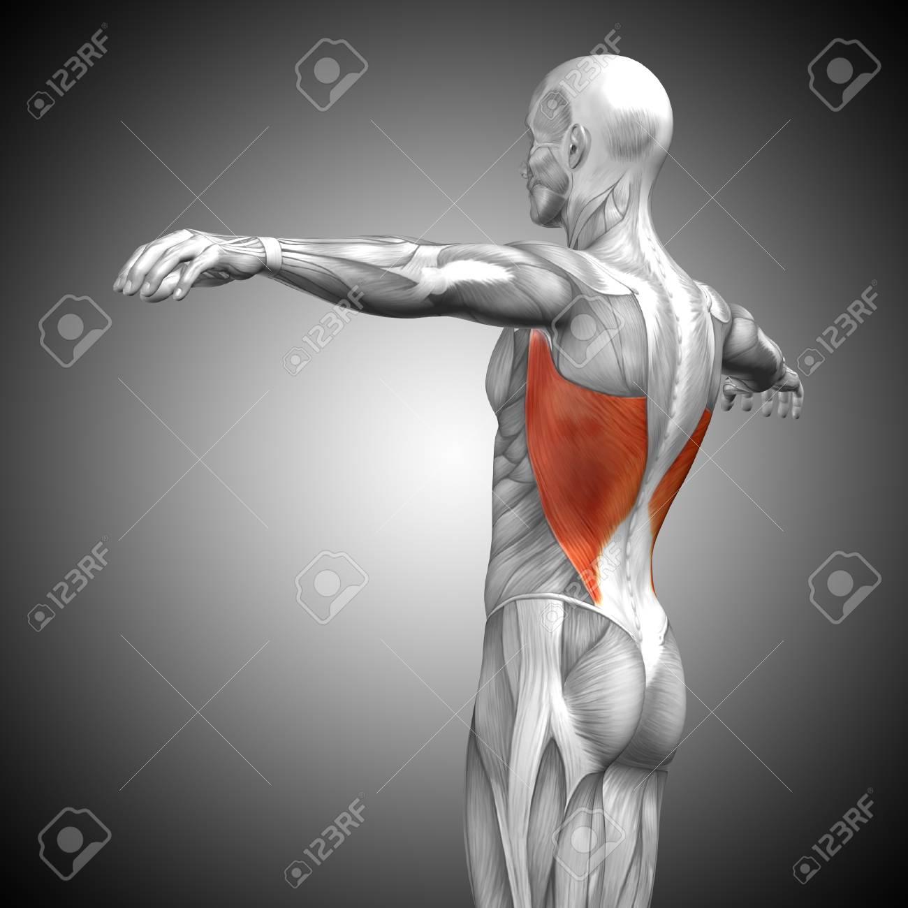 Famoso Músculo De La Espalda Anatomía Fotos Colección - Anatomía de ...