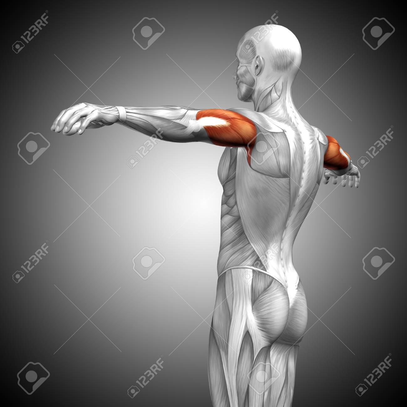 Músculo Conceptual De La Anatomía Del Tríceps 3D En Fondo Gris Fotos ...