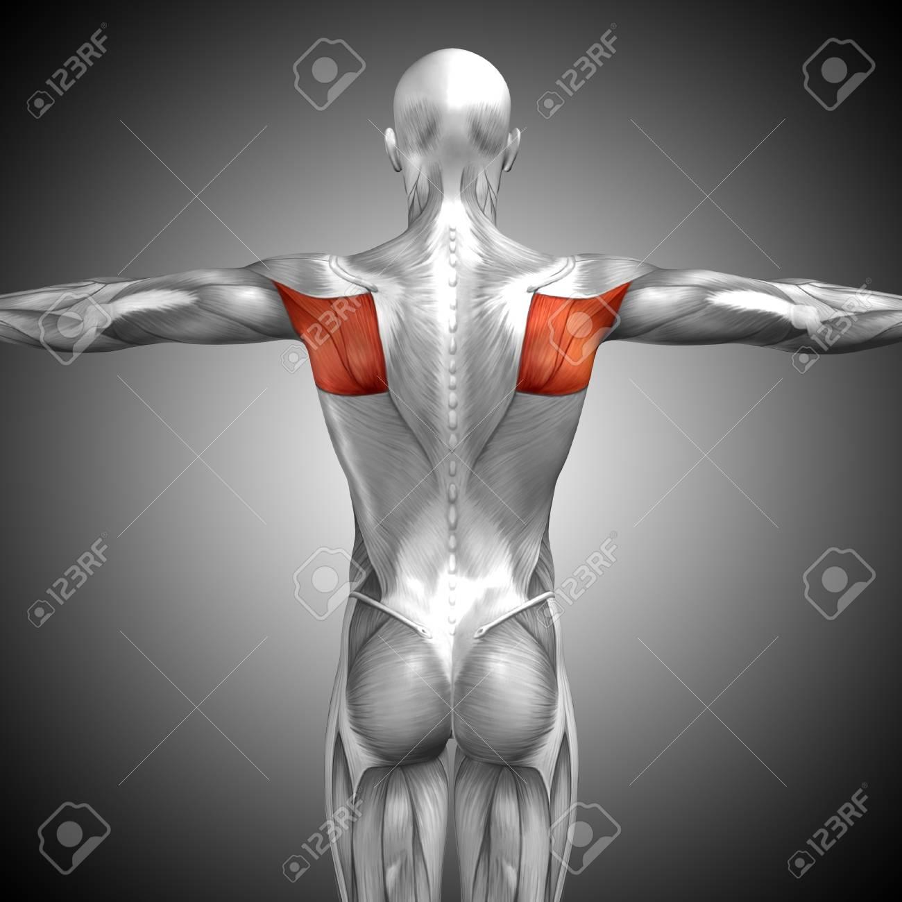 Conceptual 3D Anatomía Músculo De La Espalda Sobre Fondo Gris Fotos ...