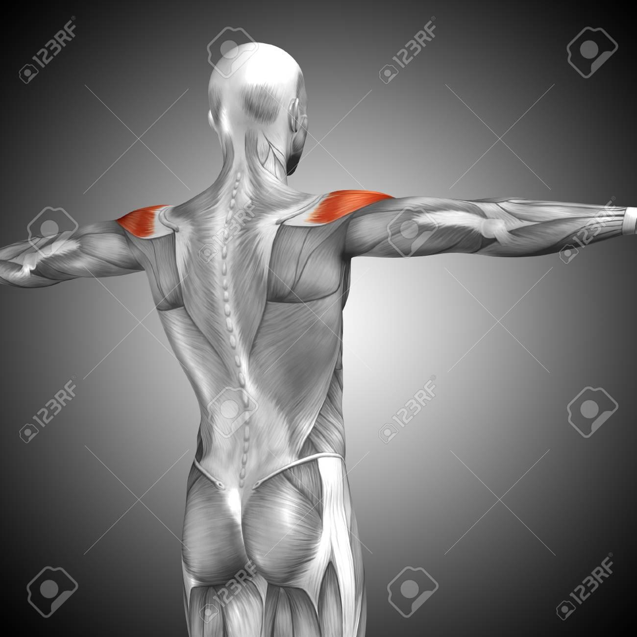 Konzeptionelle 3D-Anatomie Zurück Muskel Auf Grauem Hintergrund ...
