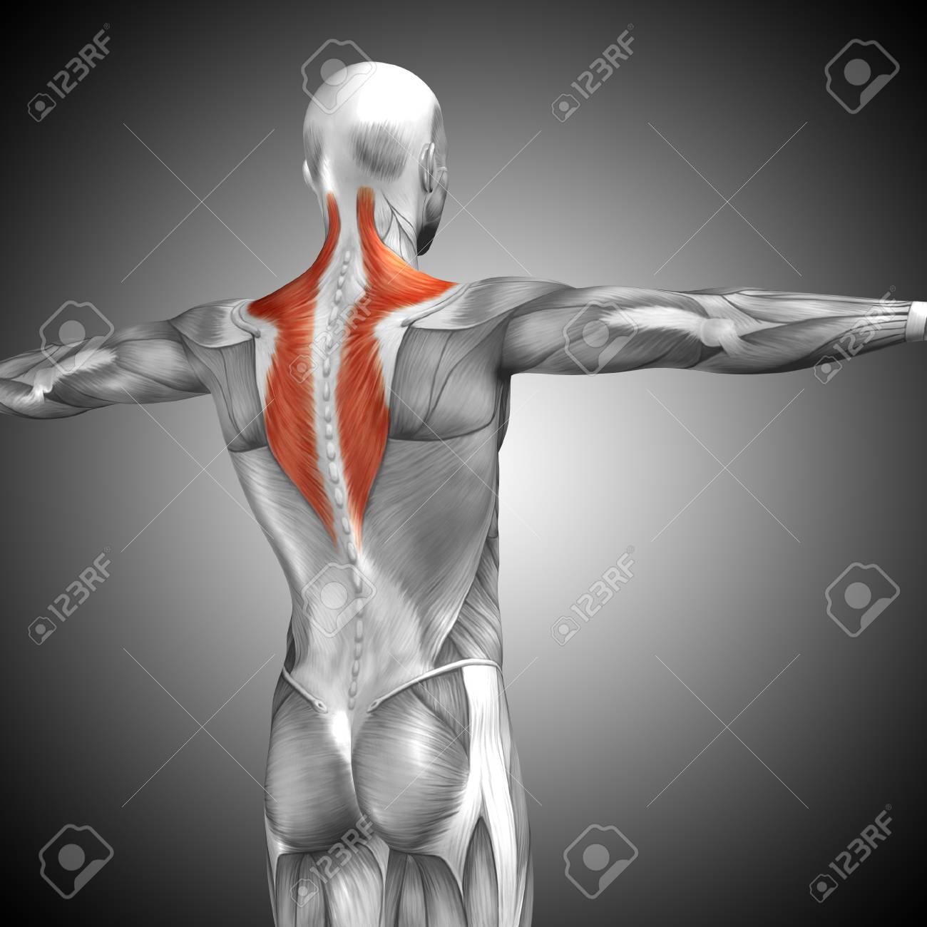 Lujoso Diagrama De La Musculatura De La Espalda Humanos Ornamento ...
