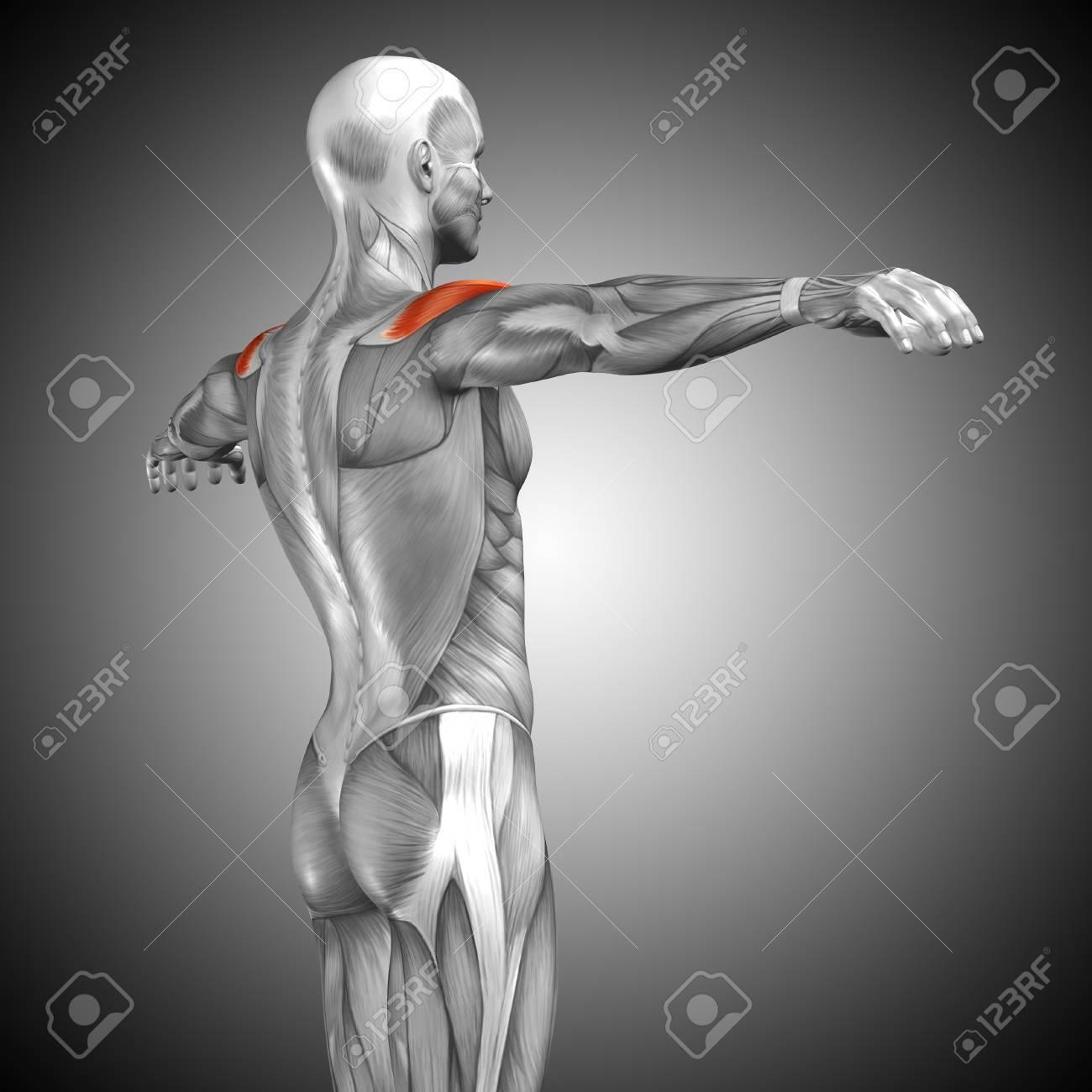 Bonito Comprar La Anatomía Grises Imagen - Imágenes de Anatomía ...