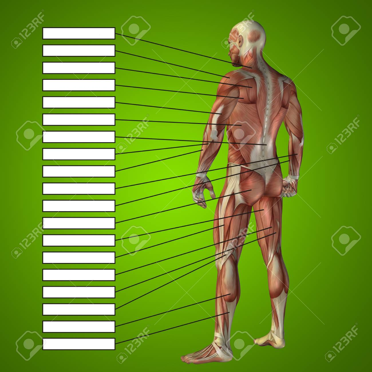 3d Human Male Anatomy With Muscles And Text Box On Green Background