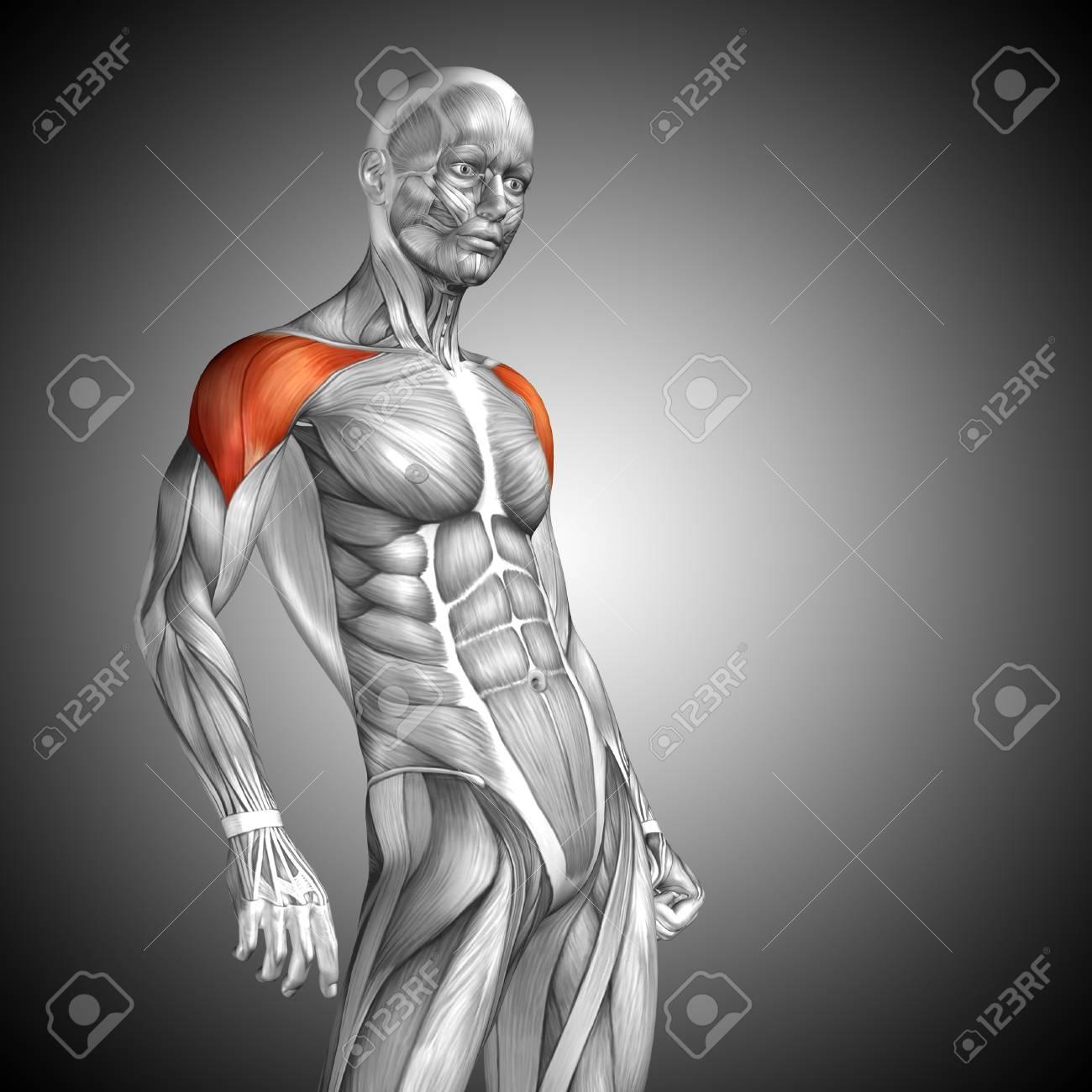 Moderno Pecho Diagrama De La Anatomía Muscular Modelo - Anatomía y ...