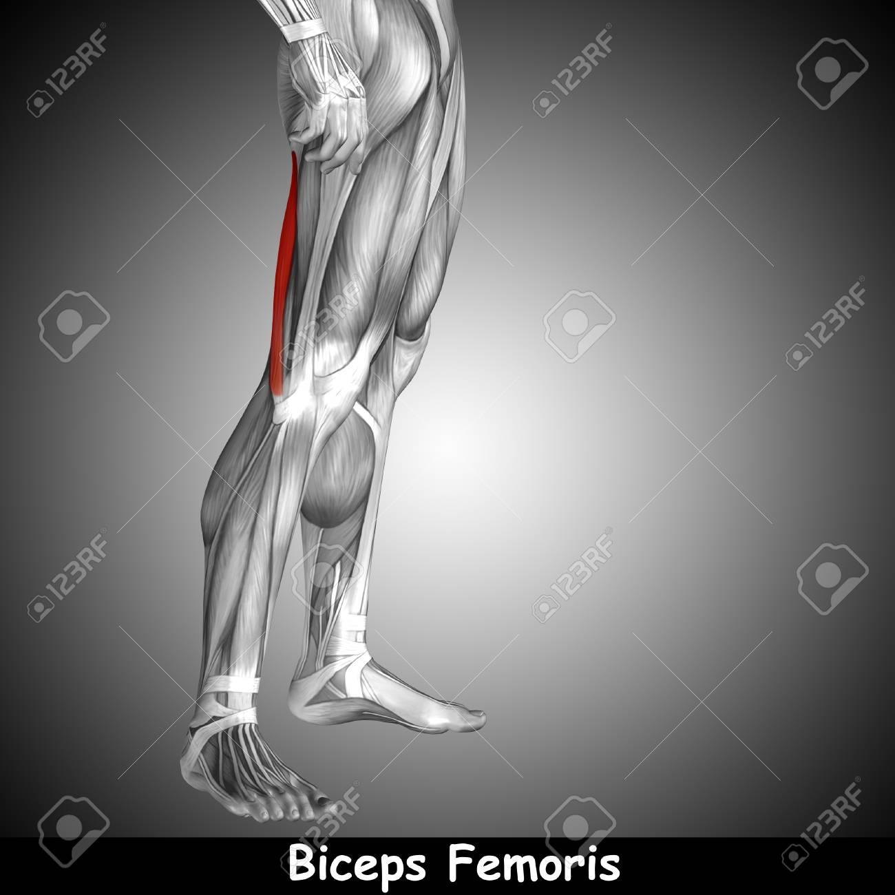 Konzeptionelle 3D Menschlichen Rücken Oberschenkel Muskelanatomie ...