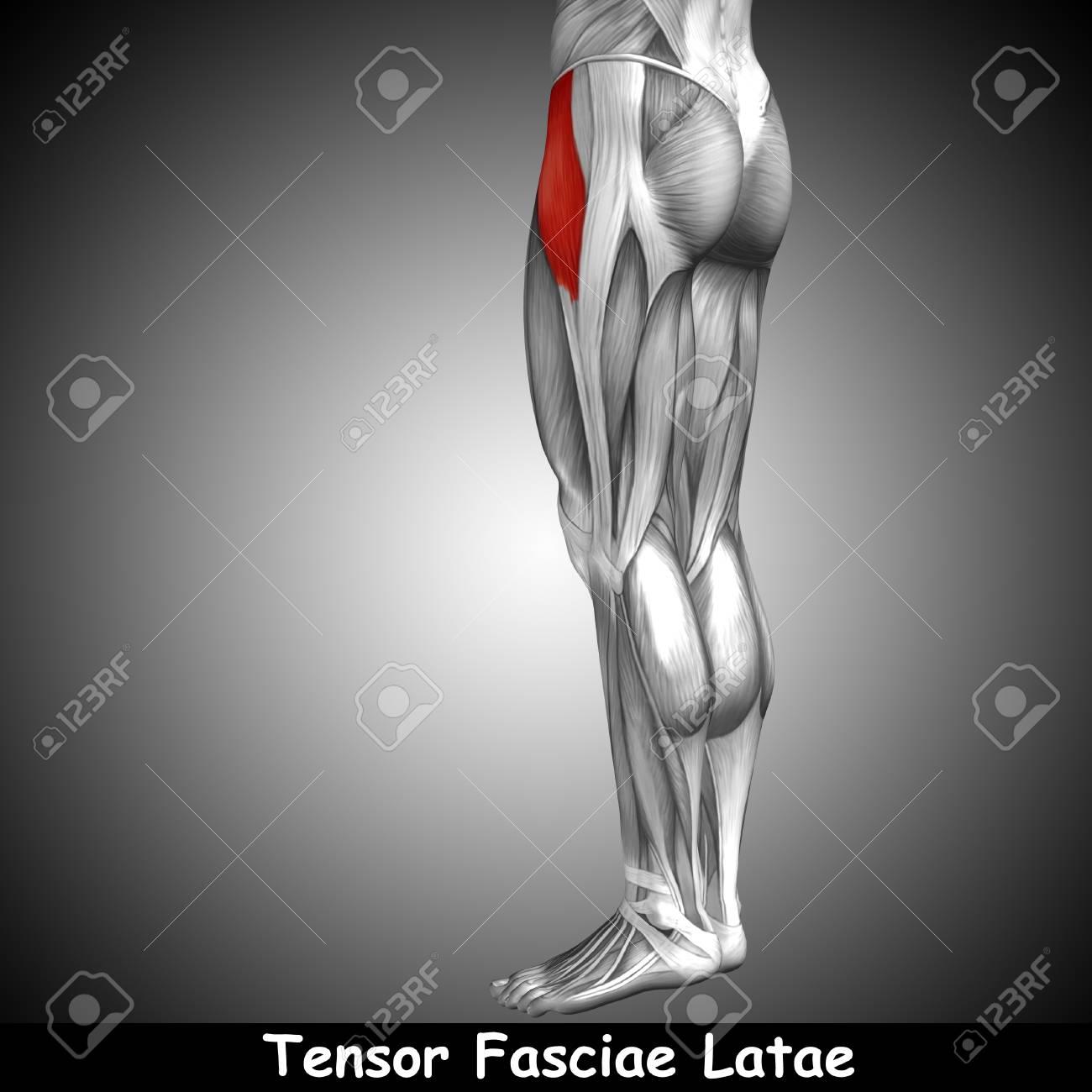 Conceptual Humana 3D Volver Anatomía Muscular De La Pierna Superior ...