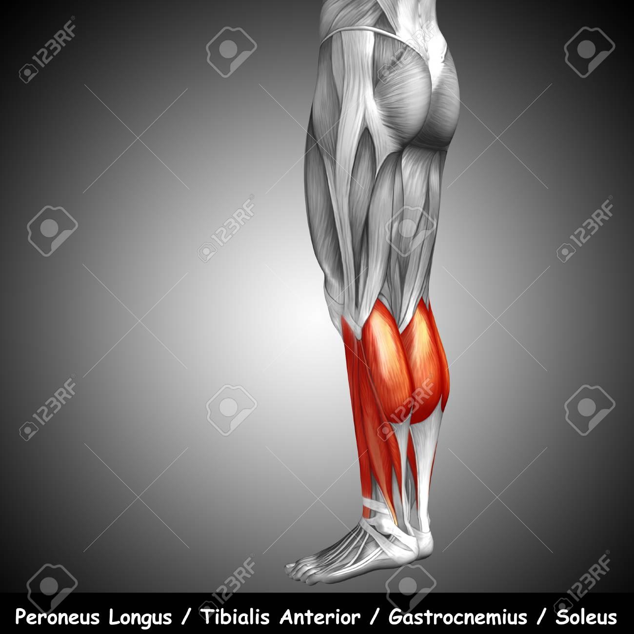 Famoso Inferior Diagrama Anatomía Músculo De La Espalda Modelo ...