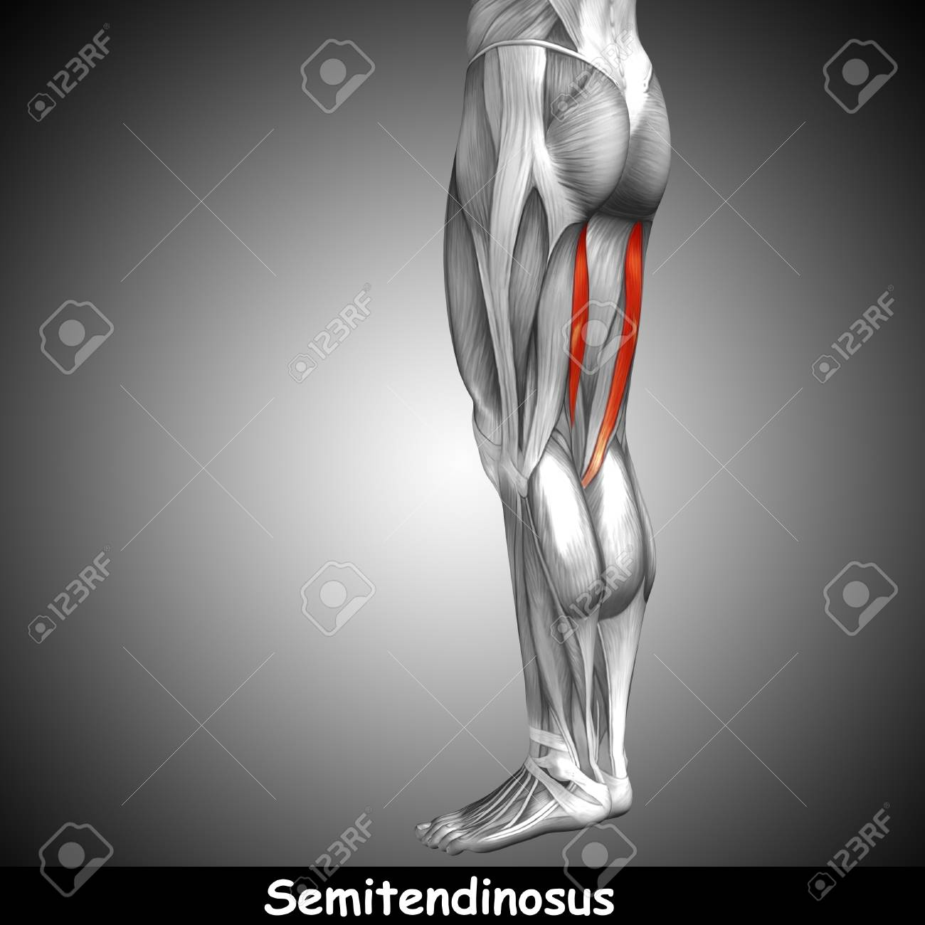 Bonito Anatomía Muscular Correa Bosquejo - Anatomía de Las ...