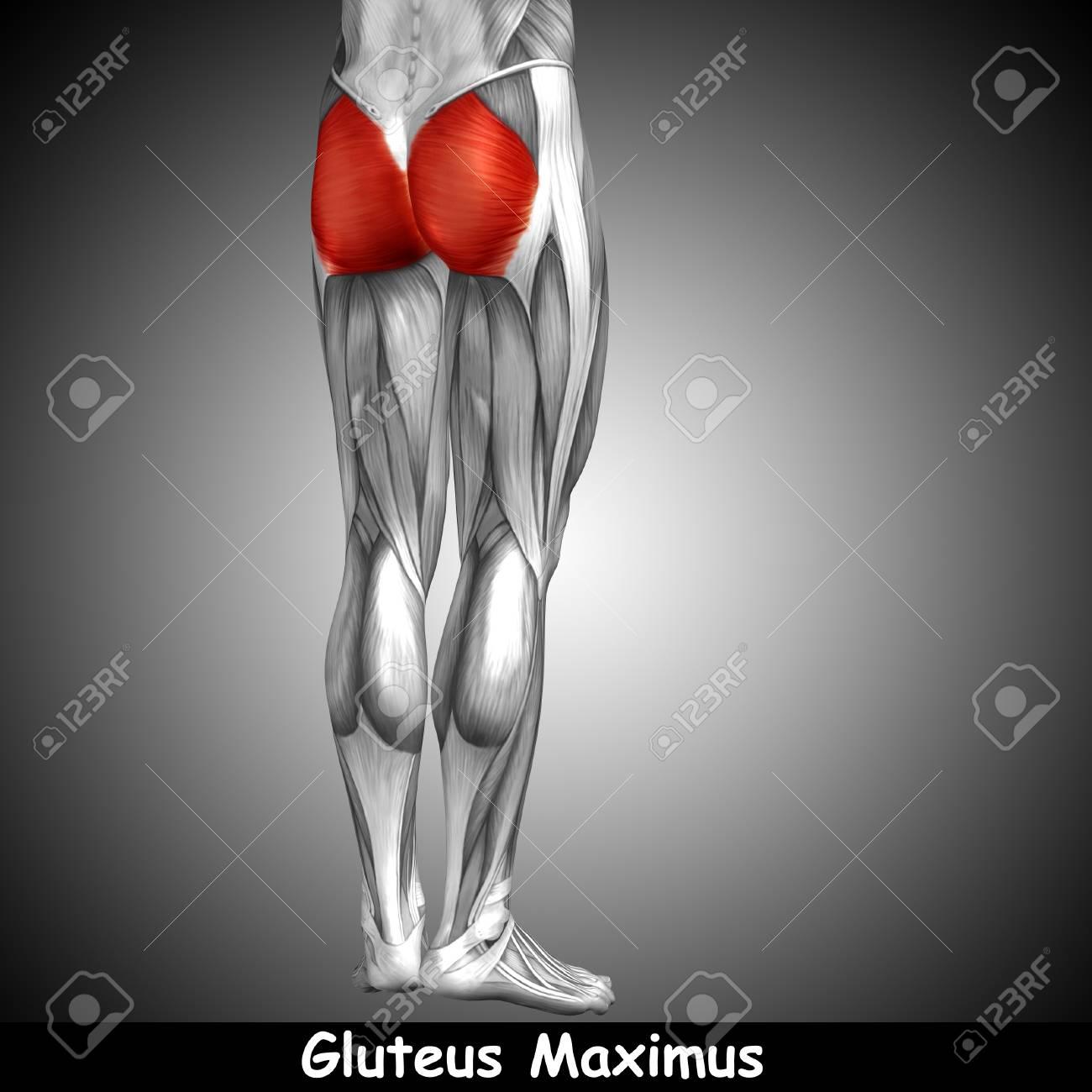 Asombroso Pierna Superior Anatomía Muscular Ideas - Anatomía de Las ...