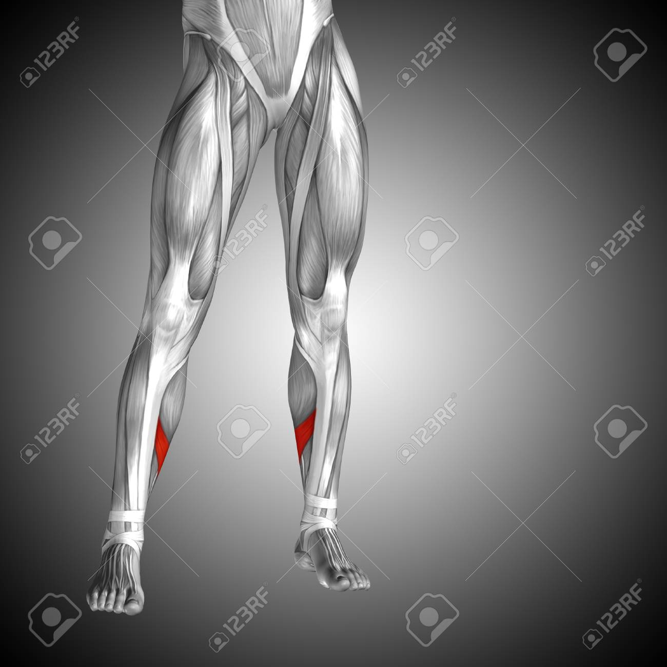 Conceptual 3D Human Front Lower Leg Muscle Anatomy On Gray ...