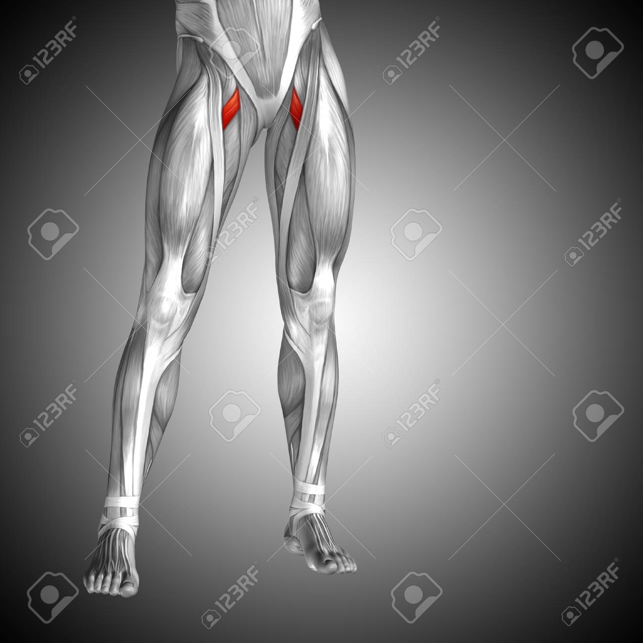 Conceptual 3D Human Front Upper Leg Muscle Anatomy On Gray ...