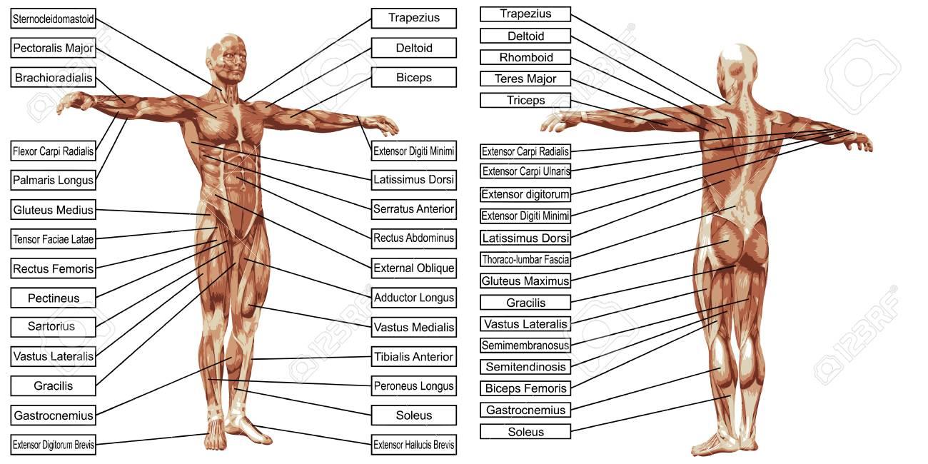 Vector 3D Man Spier Anatomie Met Tekst Geïsoleerd Op Een Witte ...