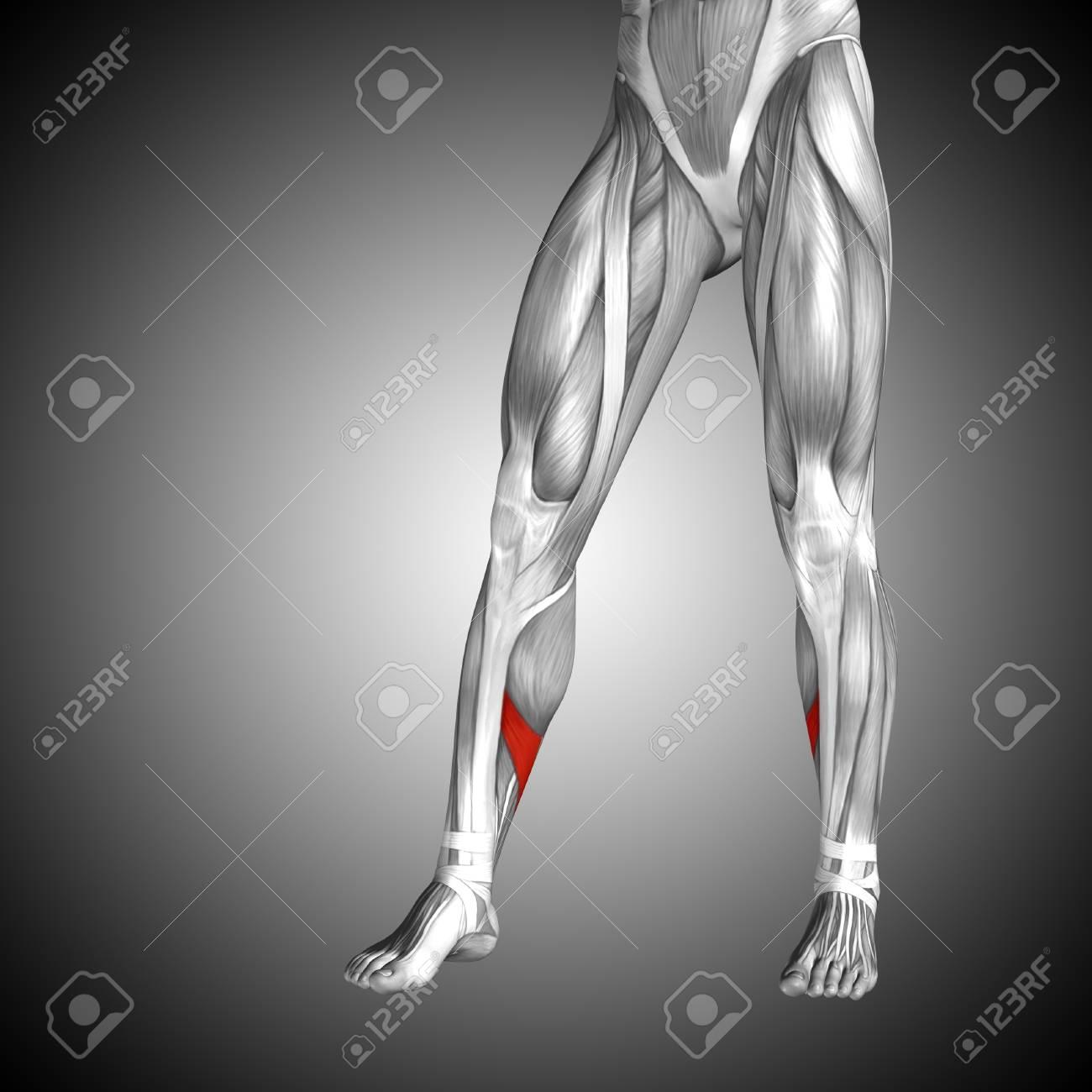 Atractivo Anatomía Inferiores Imágenes Traseras Regalo - Imágenes de ...