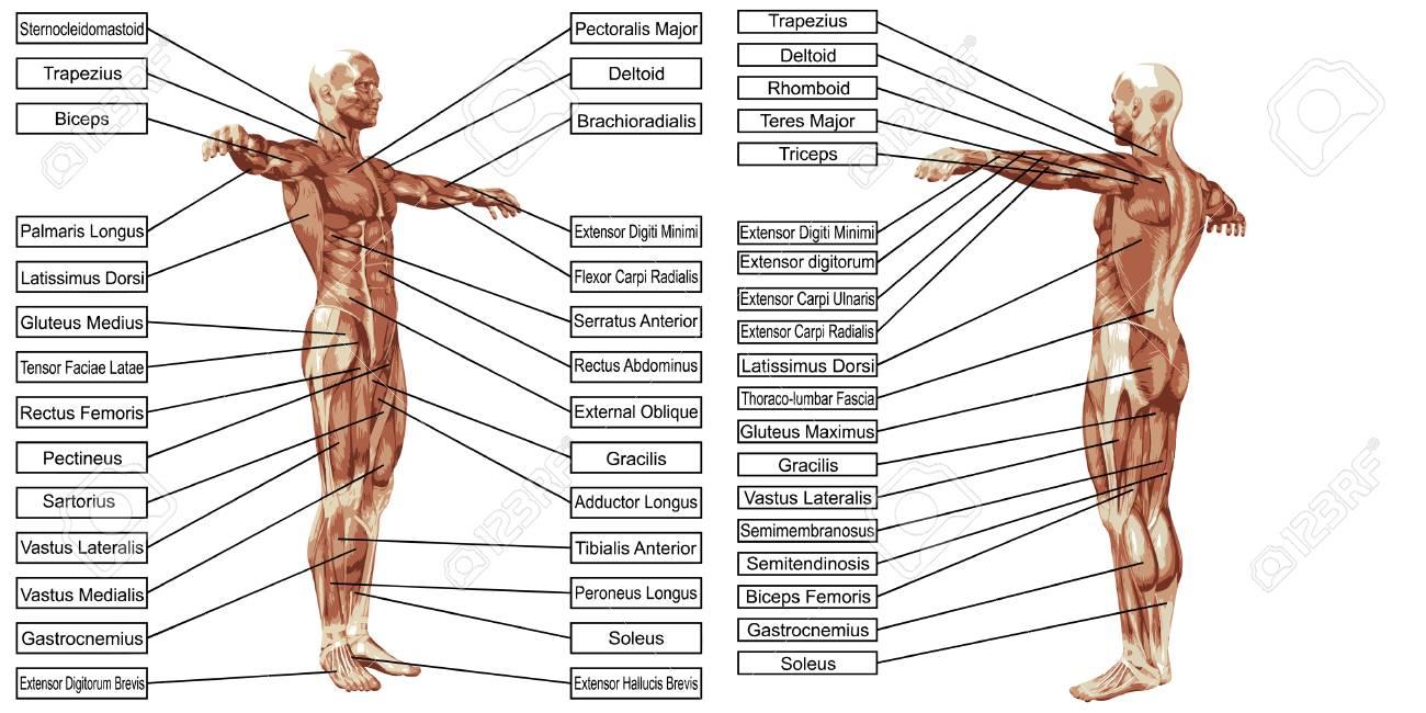 Ziemlich Makroskopische Anatomie Bilder Fotos - Anatomie Ideen ...