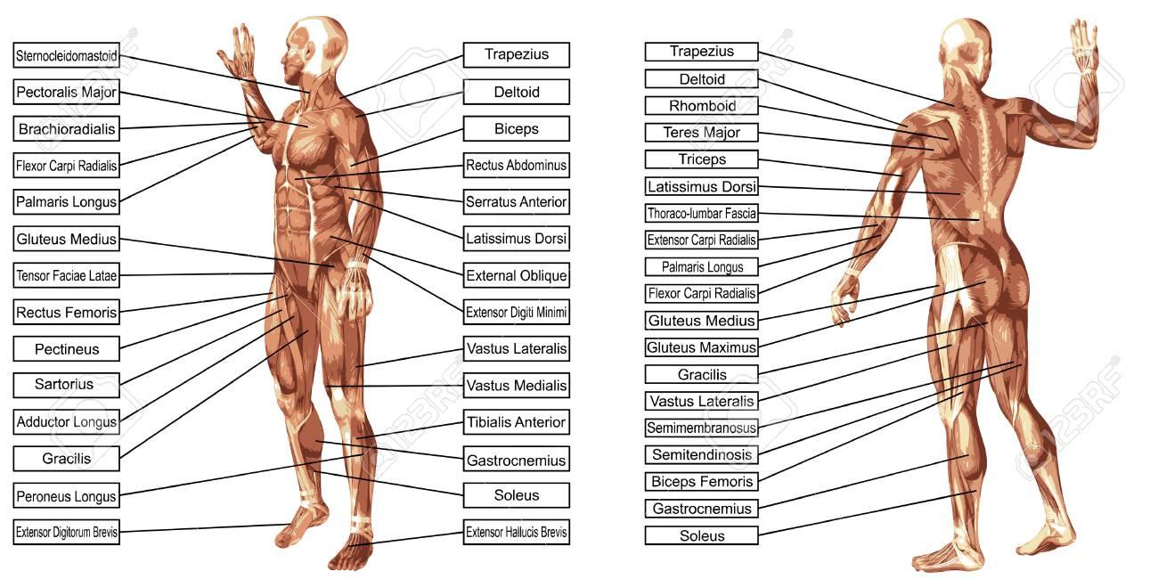 Vektor 3D Mann Muskel Anatomie Mit Text Isoliert Auf Weißem ...