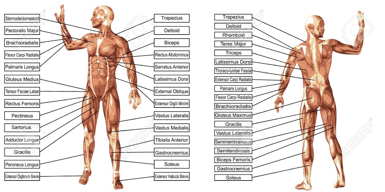 Vector 3D Anatomía Del Hombre Del Músculo Con El Texto Aislado En El ...